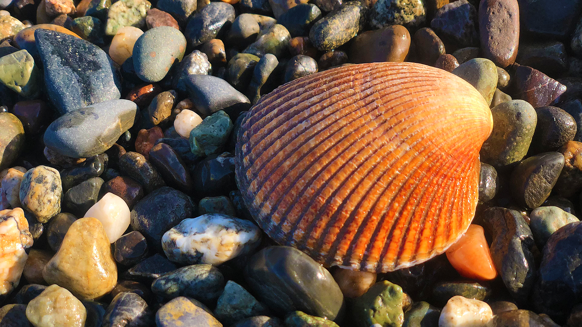 Solitary Shell by Skip Weeks
