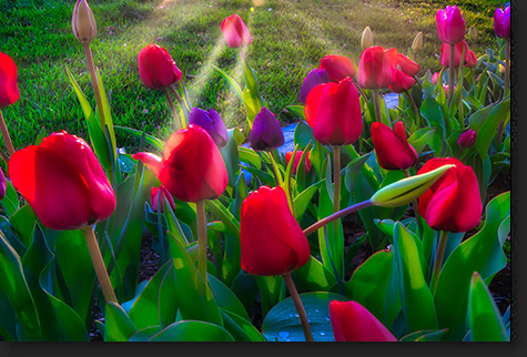 Tulips at Sunset by Skip Weeks